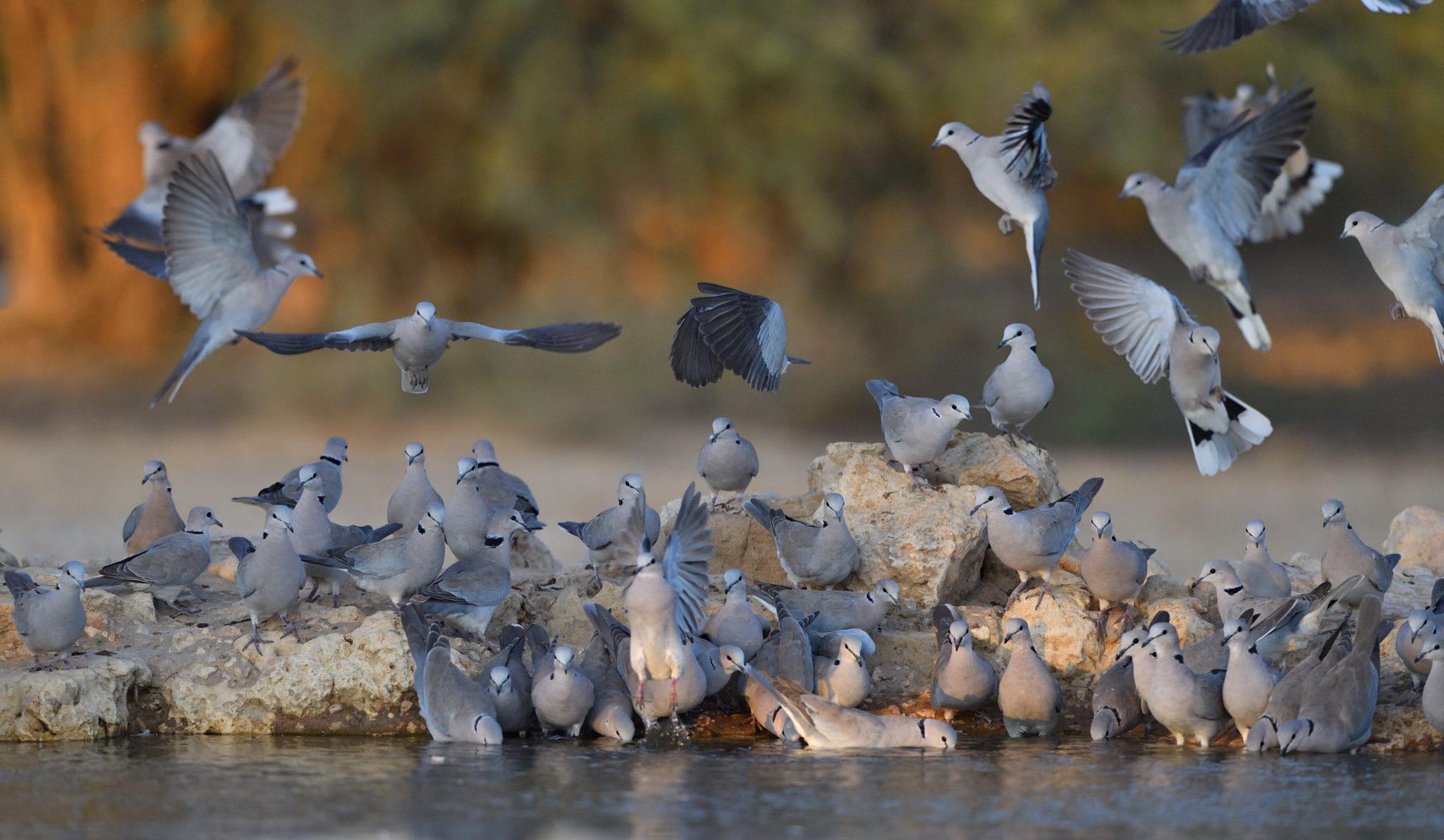 Die Tauben geniessen das Wasser am Cubitje Quap