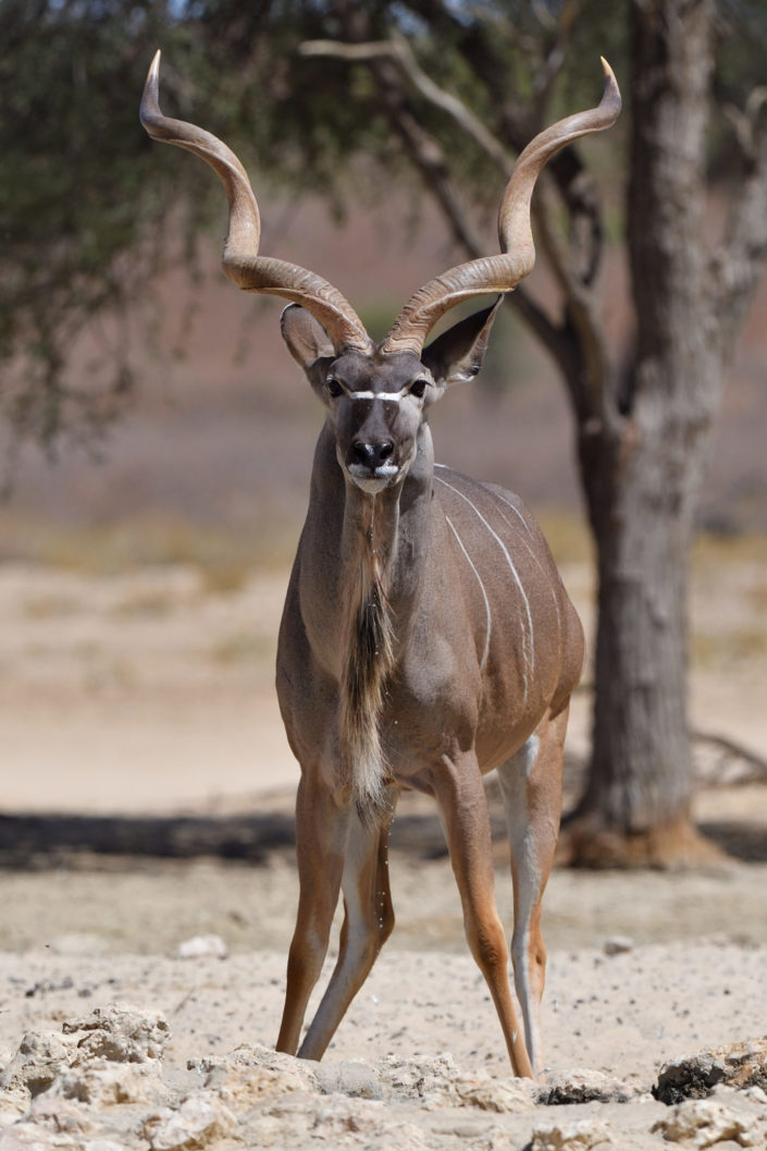 Kudu @ Rooikop