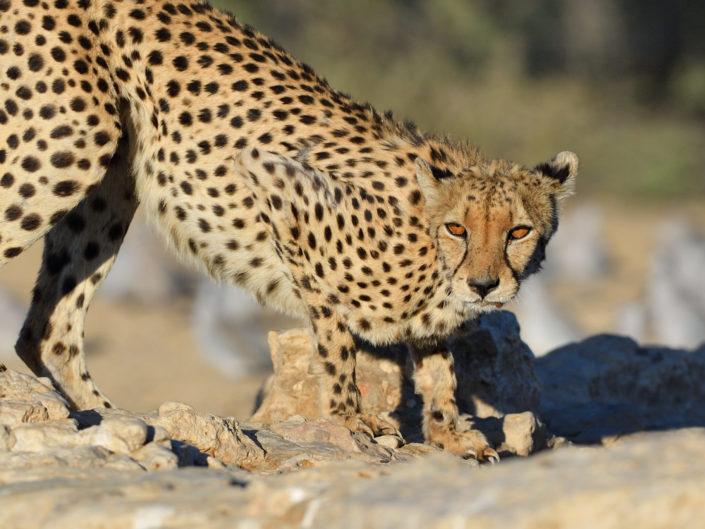 Cheetahs - Kgalagadi