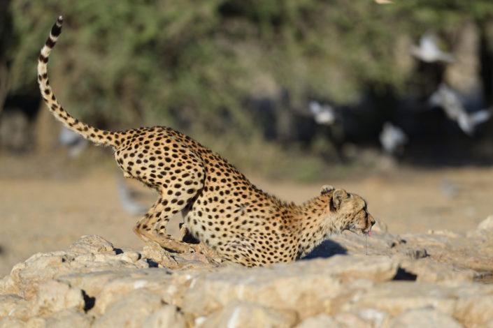 Gepard @ Cubitje Quap