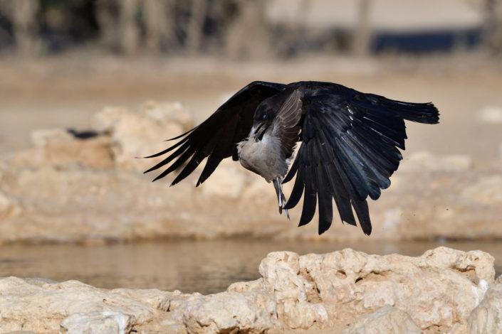 Krähe erwischt eine Taube am Cubitje Quap Wasserloch