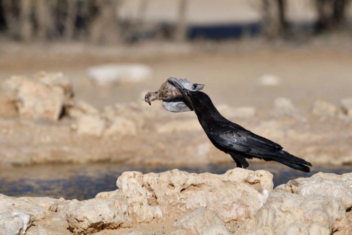 Krähe rupft Taube