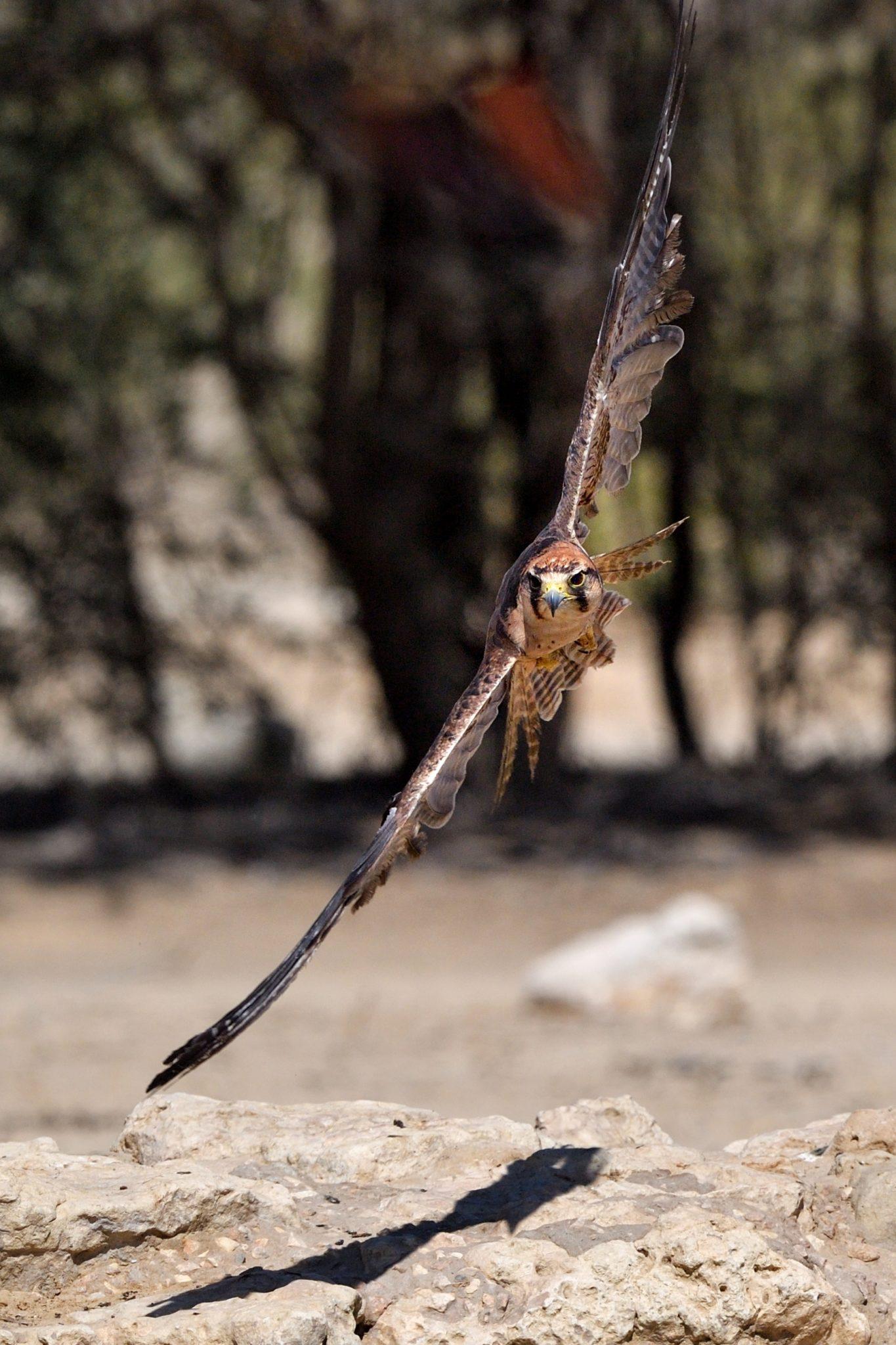Falke über dem Cubitje Quap