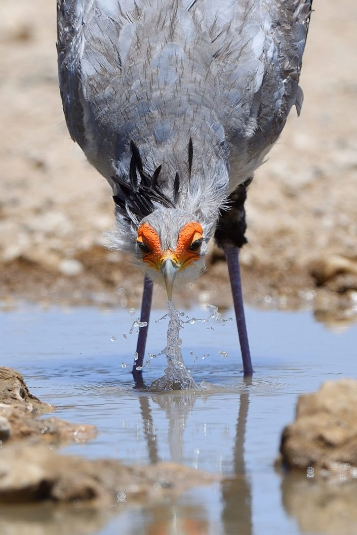 Secretary Bird at Polentswa Waterhole
