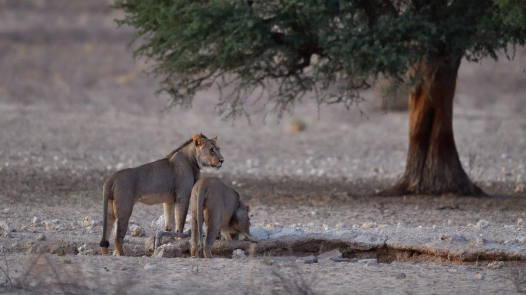 Löwen am Grootkolk Wasserloch
