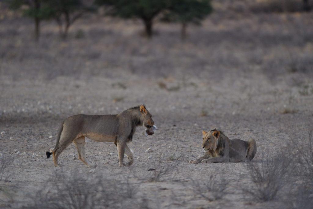 Löwe präsentiert stolz seine Beute