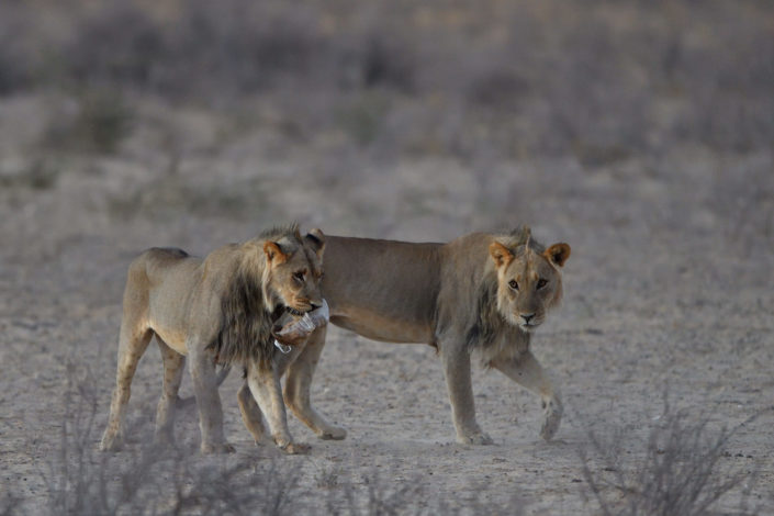 Löwen spielen am Grootkolk Wasserloch