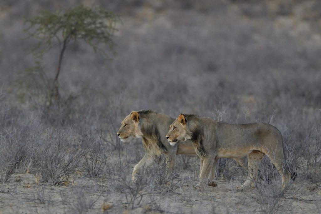 Löwenbesuch im Grootkolk Camp