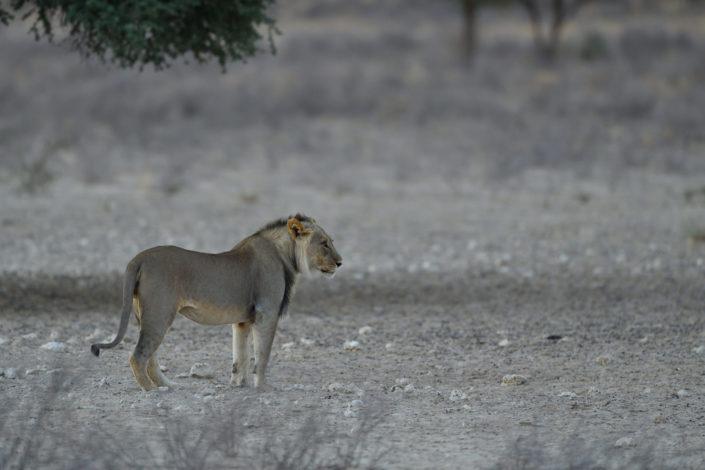 Löwe im Grootkolk Wilderness Camp