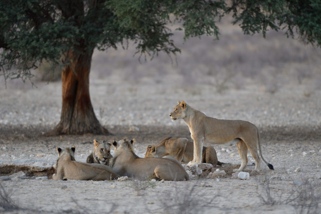 Löwen-Familie am Grootkolk Wasserloch
