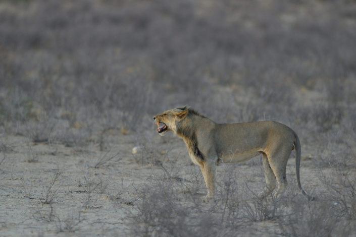 Löwen-Männchen beim Flehmen im Grootkolk Wilderness Camp
