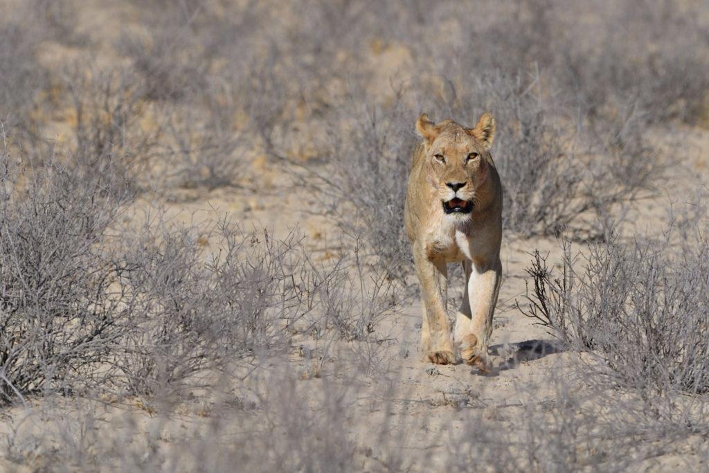 Auge in Auge mit der Löwin