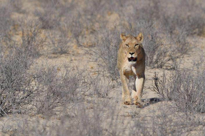 Löwin läuft auf das Camp zu