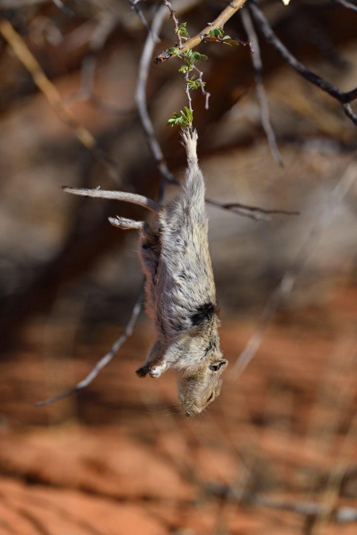 Kalahari Ratte