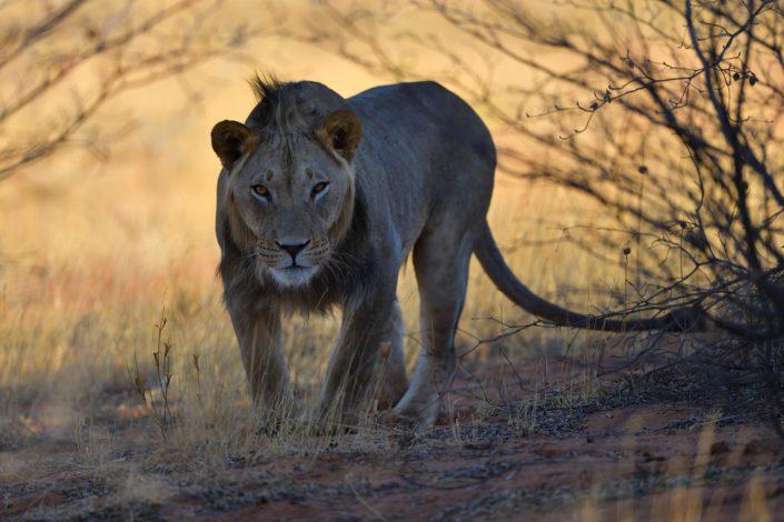 Löwen im Gharagab Camp