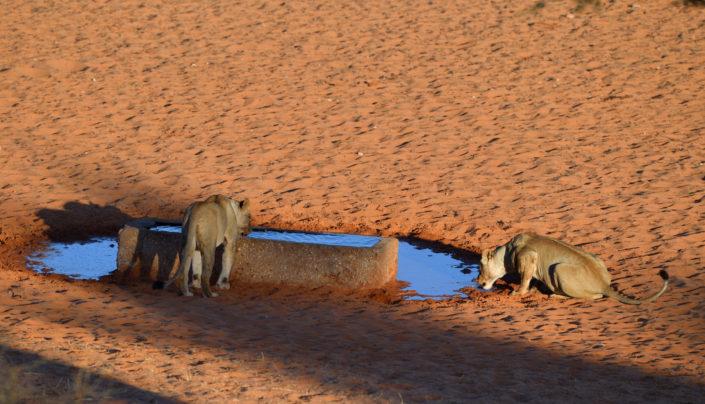 Zwei Löwen abends am Gharagab Wasserloch