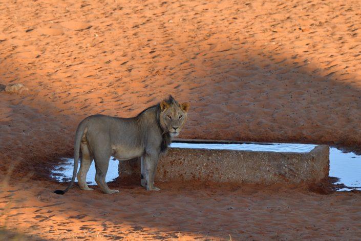 Löwe am Gharagab Wasserloch
