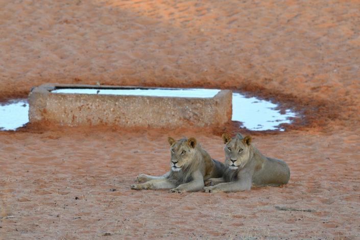 KTP Kgalagadi Transfrontier Park Reisebericht