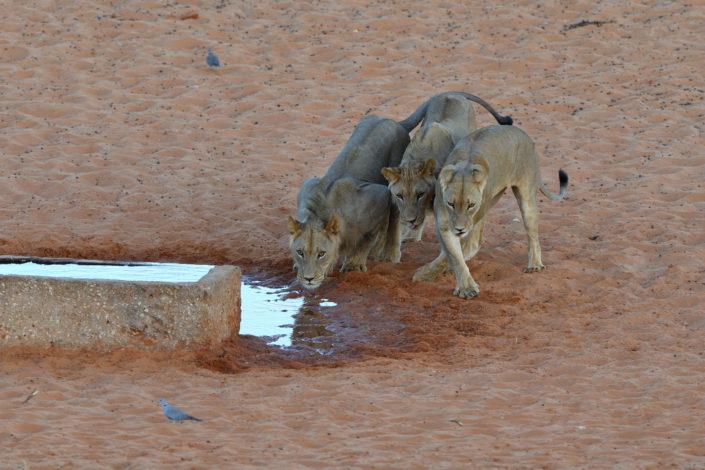 Löwen am Gharagab Wasserloch