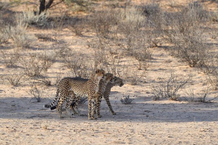 Cheetah Koalition sucht Futter im Auob Tal