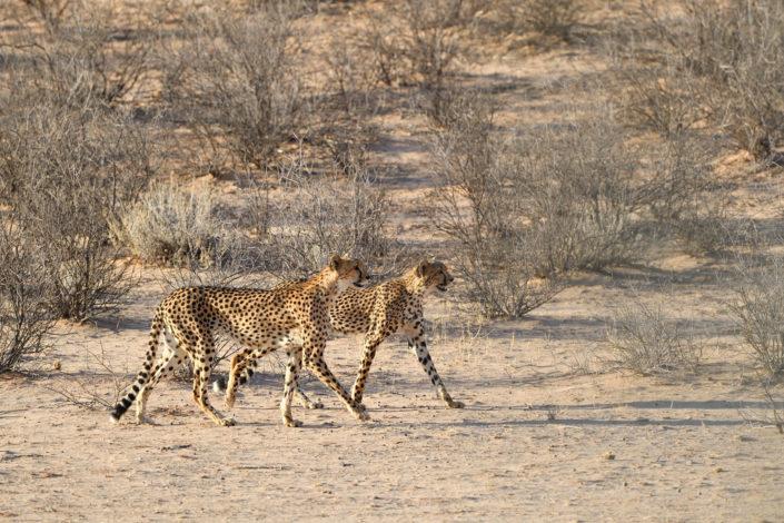 Zwei Geparden marschieren im Auob Tal