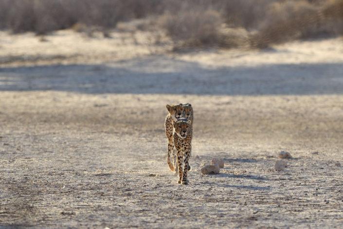Drei Cheetahs in einer Linie im Auob Tal