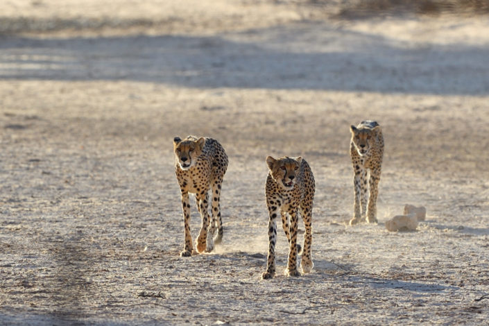 Die Geparden beobachten Springböcke