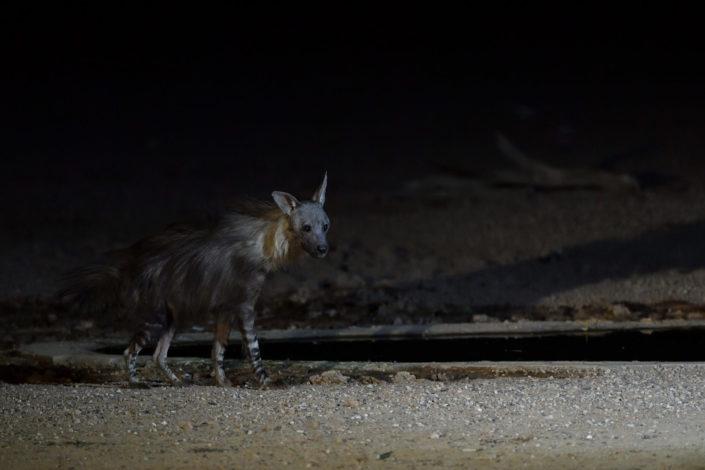 Braune Hyäne am Urikaruus Wilderness Camp Wasserloch