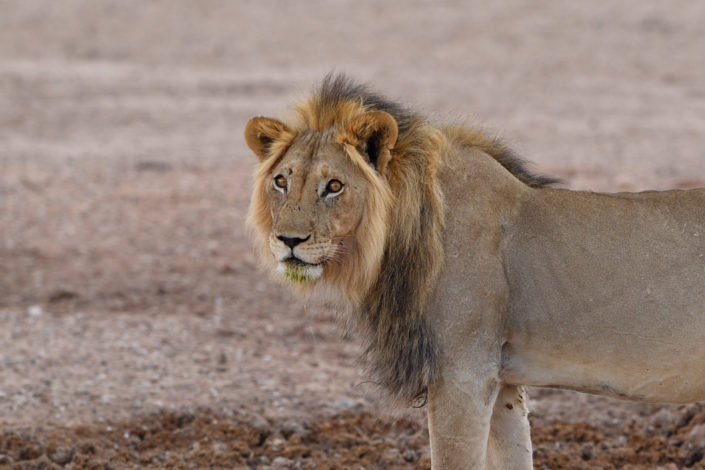 Portrait eines männlichen Löwen