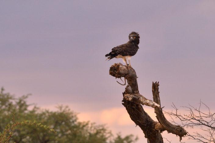 Martial Eagle - Kampfadler im Auob Tal