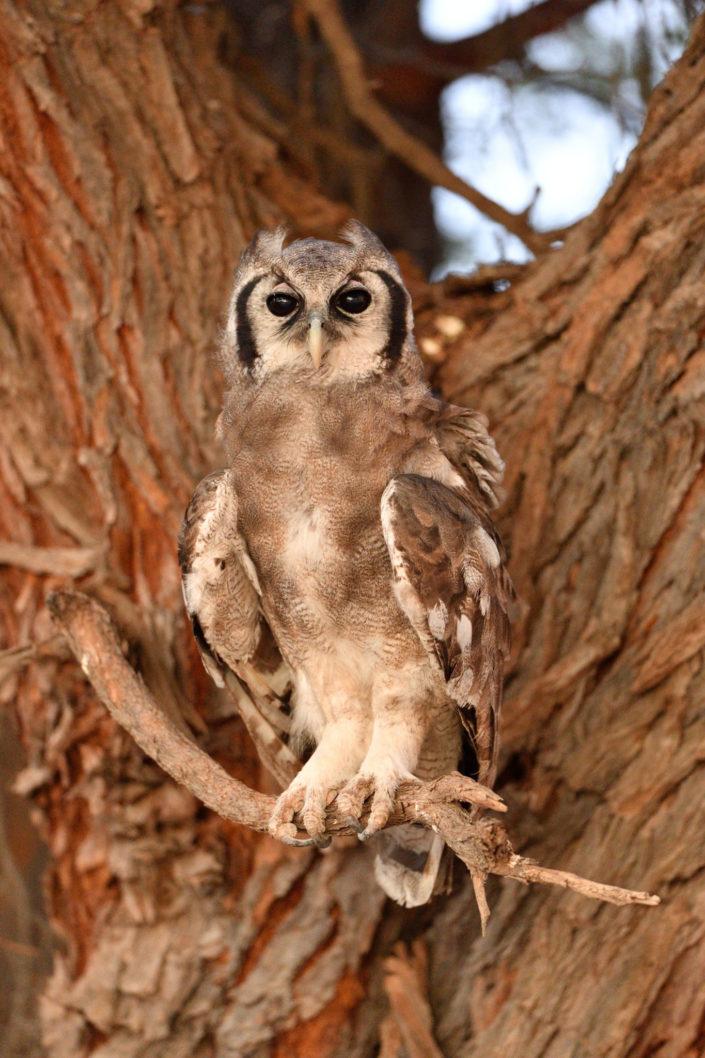Verreaux's Eagle-Owl - Milchuhu