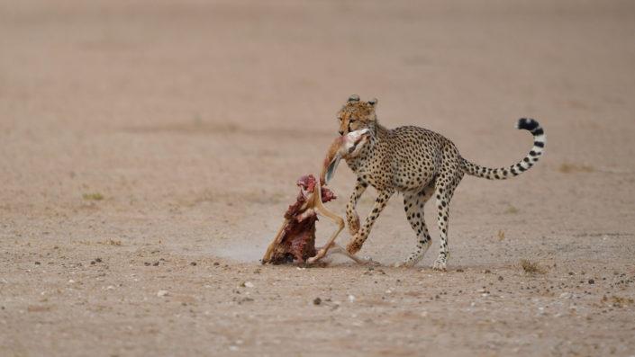 Cheetah mit Springbock