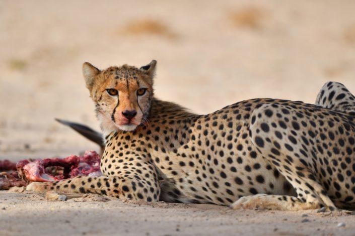 Gepardin am Fressen