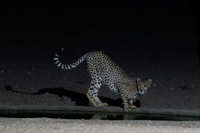 Cheetah während der Nacht am Urikaruus Wilderness Camp Wasserloch