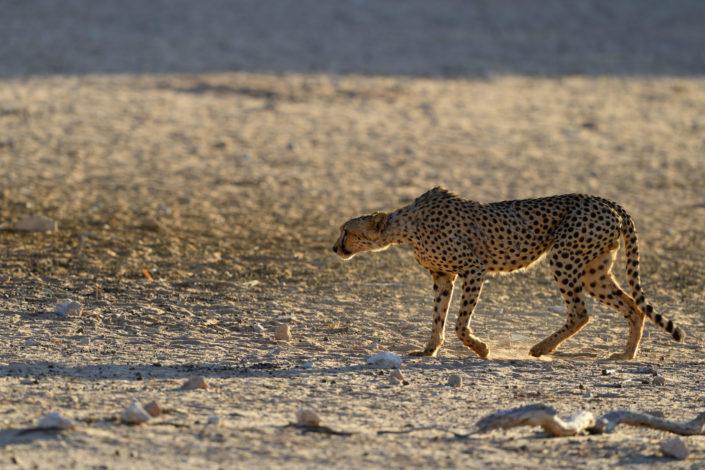 Fotografie: Cheetah im Gegenlicht