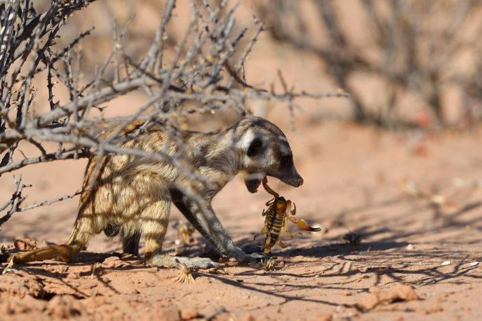 Erdmännchen mit Skorpion