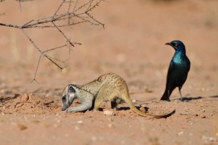 Erdmännchen budelt nach Futter, Vogel wartet auf eine Gelegenheit zum Klauen