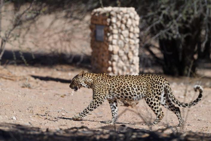 Leopard beim Batulama Wasserloch im Auob Tal