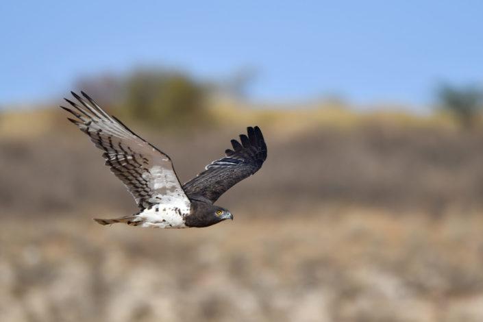 Martial Eagle im Flug