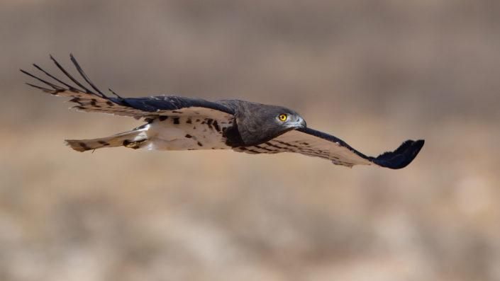 Kampfadler im Flug