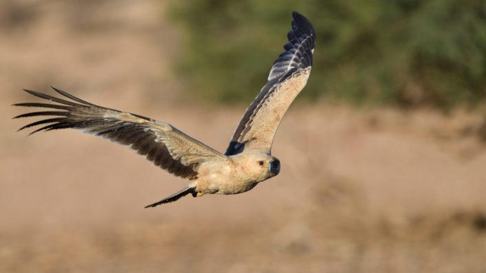 Tawny Eagle - Raubadler