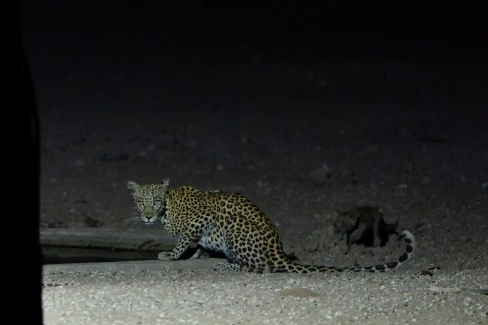 Leopardin mit Jungem während der Nacht am Urikaruus Wilderness Camp Wasserloch
