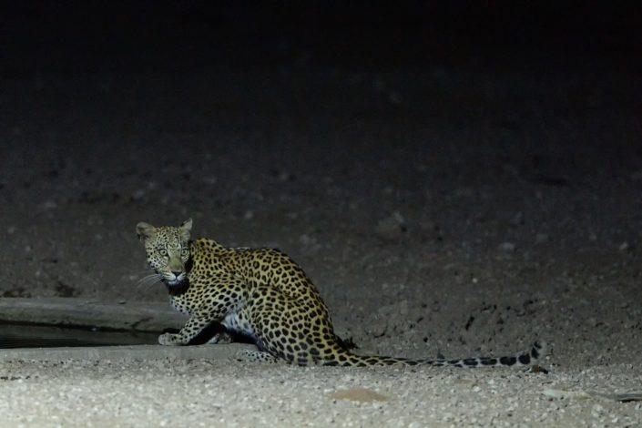 Auob: Leopardin während der Nacht am Urikaruus Wilderness Camp Wasserloch