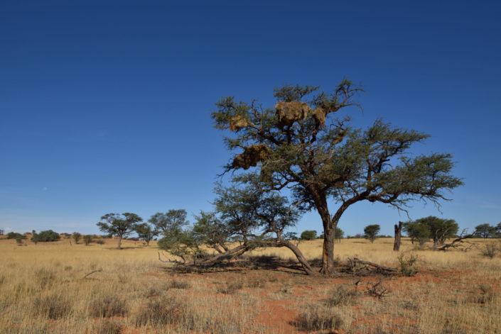 Kameldornbaum mit Nestern der Sociable Weaver Birds