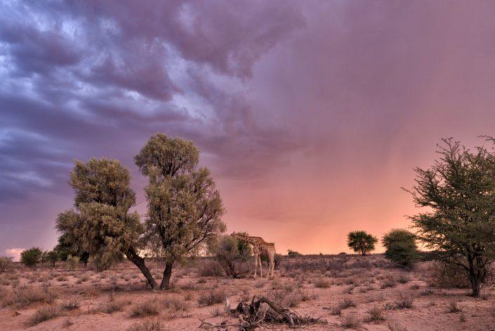 Giraffe unter dem Sturmhimmel