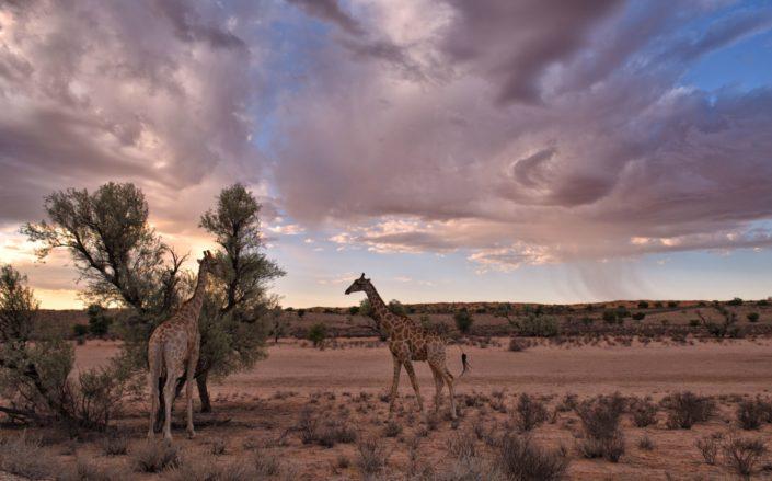 Sturm über den Giraffen