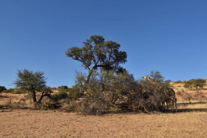 Kameldornbaum im Auob Trockenflussbett