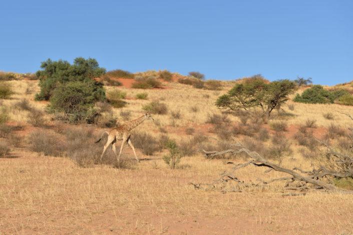 Giraffe in der Kalahari Landschaft