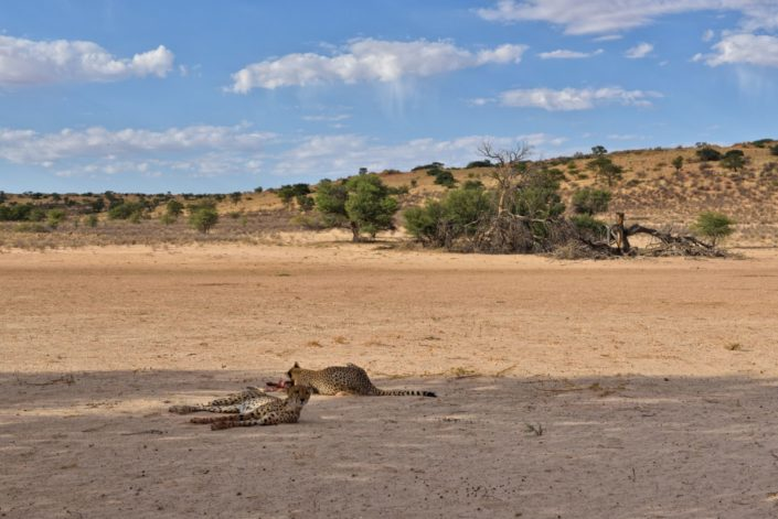 Cheetahs mit Beute im Auob Tal
