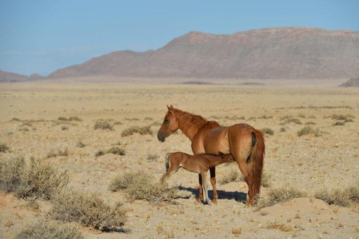 Stute säugt ihr Fohlen, Garub, Namibia